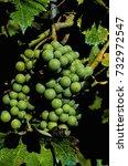 Small photo of Photo picture of acinus unripe grape fresh green bunches