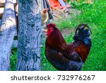 Colorful Rooster On Green Grass.