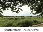 cows in the meadow and the... | Shutterstock . vector #733070593
