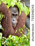 bornean orangutan on the tree...   Shutterstock . vector #733348243