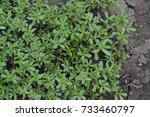 purslane. portulaca oleracea.... | Shutterstock . vector #733460797
