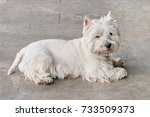 Cute White Dog Of West Highlan...