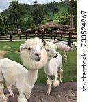 Small photo of Cute Alpaca, Alpaca hill, Suanphueng, Thailand