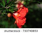 Closeup Of A Pomegranate Flower