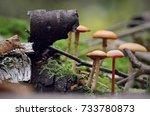 mushrooms grow on a stump of a birch next to her bark