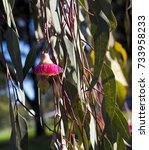 Small photo of Eucalyptus Caesia, silver princess or gungurru, is a spectacular small weeping gum tree native to Western Australian mallee districts with silvery buds and bark and huge pink flowers.
