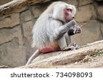 the baboon is sitting eating... | Shutterstock . vector #734098093