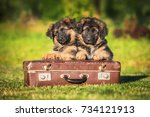 Stock photo german shepherd puppies with a suitcase 734121913