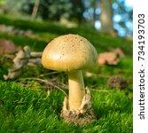 Small photo of deadly toxic amanita phalloides mushroom, deathcap