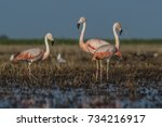 flamingos  patagonia argentina   Shutterstock . vector #734216917
