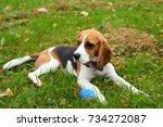 cute juvenile beagle dog lie on ... | Shutterstock . vector #734272087