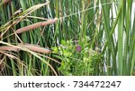 Cattails With Purple Flowers