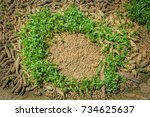 Small photo of Corn grows from the seeds on the cob and grow in a circle