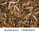 beans and mature soy pods as a...   Shutterstock . vector #734843647