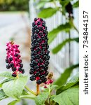 Small photo of Phytolacca americana, American pokeweed, simply pokeweed, herbaceous perennial plant Phytolaccaceae growing up. It is native to the eastern United States and has significant toxicity.