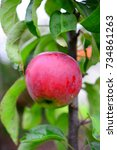 fresh ripe apples on the tree    Shutterstock . vector #734861263