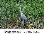 grey heron ardea cinerea in it...   Shutterstock . vector #734894653