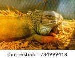 iguana is a genus of... | Shutterstock . vector #734999413