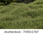 bumpy green zoysia creeping... | Shutterstock . vector #735011767
