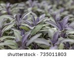 purplish common sage plant on... | Shutterstock . vector #735011803