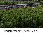 colorful marigolds garden bed... | Shutterstock . vector #735017527
