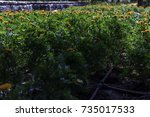 colorful marigolds garden bed... | Shutterstock . vector #735017533