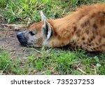 spotted hyena | Shutterstock . vector #735237253