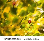 dog rose on abstract colorful... | Shutterstock . vector #735336517