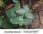 sanda raja medicinal plant