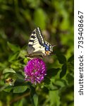 Small photo of Butterfly - Papilio machaon, the Old World swallowtail - on a pink flower in the meadow and bee; Imago with yellow wings, black vein markings and with a red eye spot at the end of the tails.