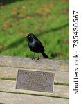 Small photo of Blackbird sitting on a bench. Roseline Swig quote - just fly