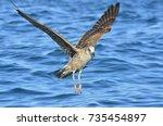 flying  juvenile kelp gull ... | Shutterstock . vector #735454897