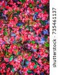 Beautiful Red Semperflorens...