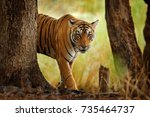 tiger walking in old dry forest.... | Shutterstock . vector #735464737