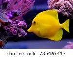 Small photo of Zebrasoma flavescens - Yellow Tang