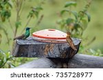 Small photo of Lesser violetear (Colibri cyanotus) and a Shining sunbeam (Aglaeactis cupripennis) on a bird feeder in the Antisana Ecological Reserve, Ecuador