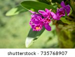 Small photo of Cattleya orchid flowers grown in natural circumstance. Colorful orchid in green urban area.