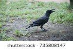 Black Crow Portrait Close Up...