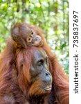 on a mum s back. baby orangutan ... | Shutterstock . vector #735837697