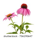 Pink Coneflowers  Echinacea ...