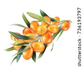 sea buckthorn isolated on the... | Shutterstock .eps vector #736193797