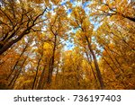 autumn trees in deciduous... | Shutterstock . vector #736197403