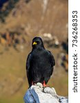 Small photo of Alpine chough sitting on a rock