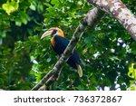 blyth's hornbill  rhyticeros... | Shutterstock . vector #736372867