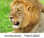 male lion in the afternoon sun  ... | Shutterstock . vector #736412803