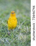 Small photo of Saffron Finch (Sicalis flaveola), male feeding in the grass.