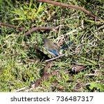 an inquisitive juvenile male ... | Shutterstock . vector #736487317