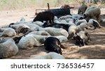 Herd Of Sheep Resting Near Tre...