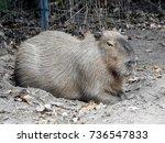 closeup of a resting capybara   ...   Shutterstock . vector #736547833