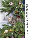 cat on christmas tree. naughty... | Shutterstock . vector #736578007